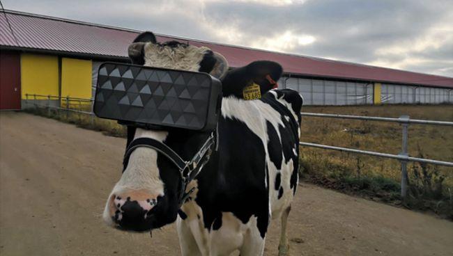 La VR per aumentare la produzione del latte nelle mucche